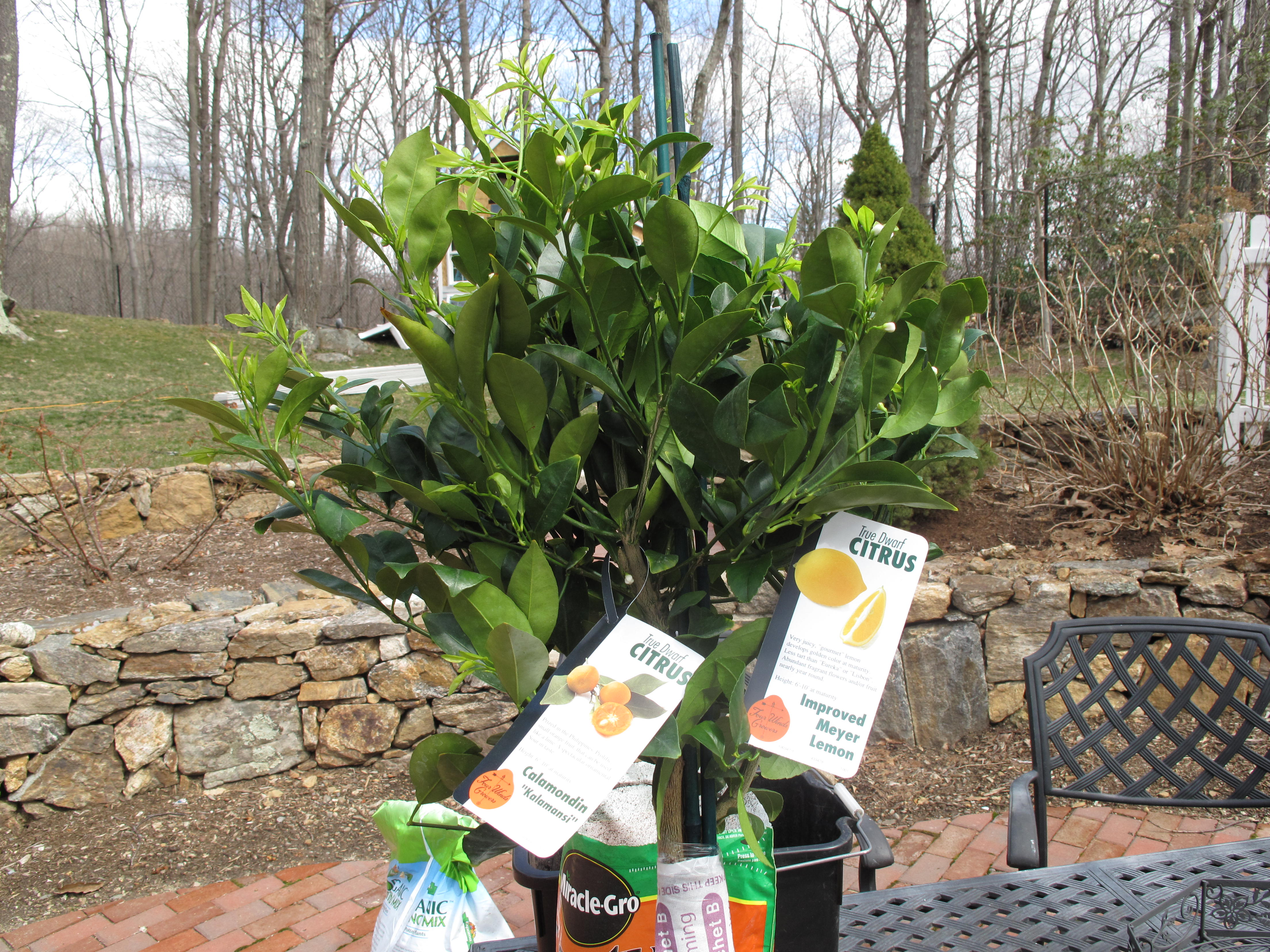 Thinking of my citrus house guests acorns on glen for When to transplant lemon tree seedlings